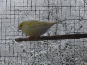 Kanarie in de sneeuw
